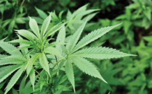 Marijuana convictions can be erased